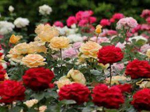日大薔薇園風景2