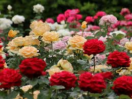 薔薇の写真