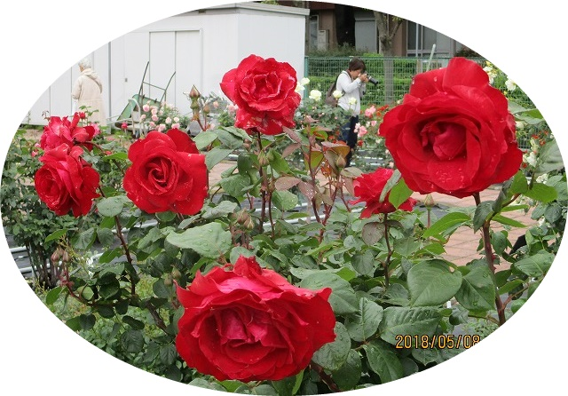 バラ園の赤いばら