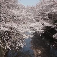 恩田川のさくら